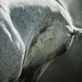 White arabian horse close up emotional portrait