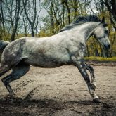 Gray arabian horse running in the forest