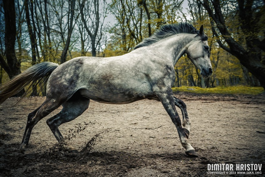 Gray arabian horse running in the forest photography top rated featured equine photography animals  Photo