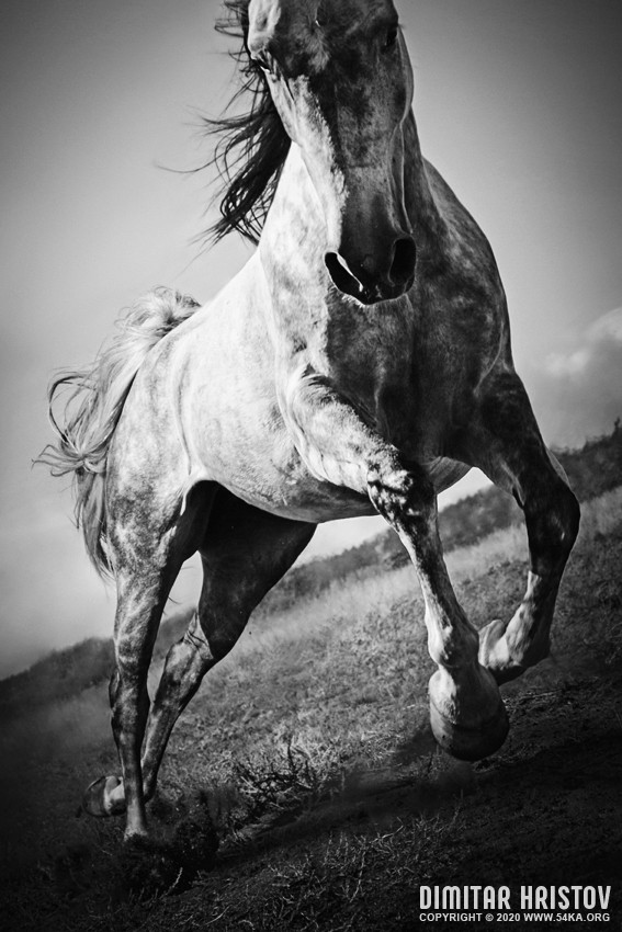 Wild mustang horse jumping photography featured extreme equine photography black and white animals  Photo