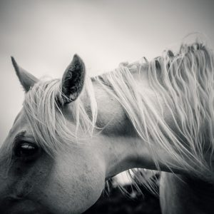 White horse in black and white