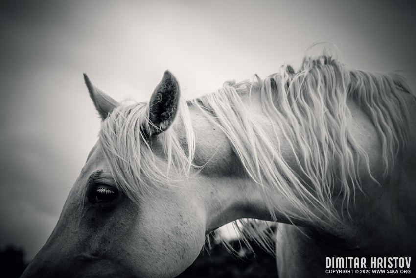 White horse in black and white photography equine photography daily dose animals  Photo