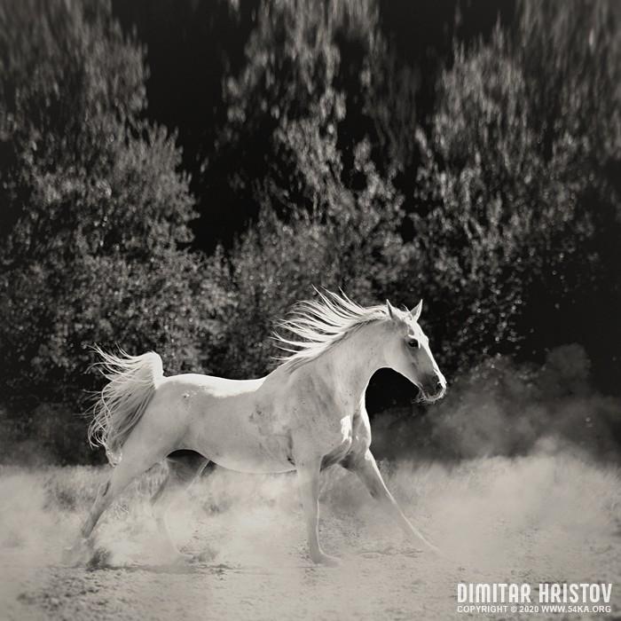 White Horse photography equine photography black and white animals  Photo