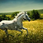 White wild Horse – Fast galloping