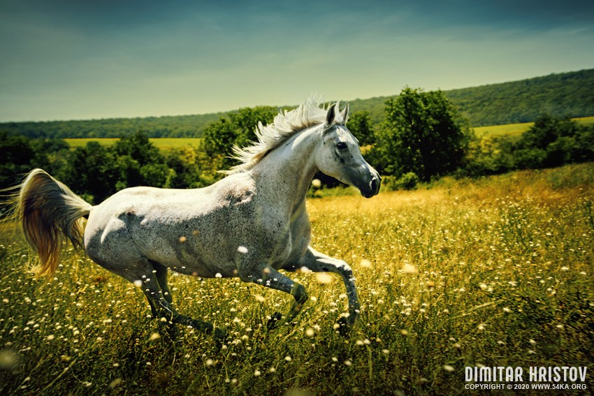 White wild Horse   Fast galloping photography featured equine photography animals  Photo