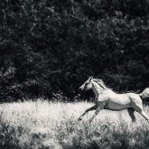 Wild White Horse – Fast galloping in the forest