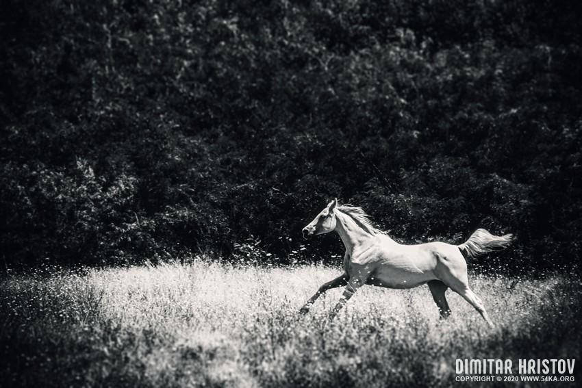Wild White Horse – Fast galloping in the forest photography featured equine photography black and white animals  Photo