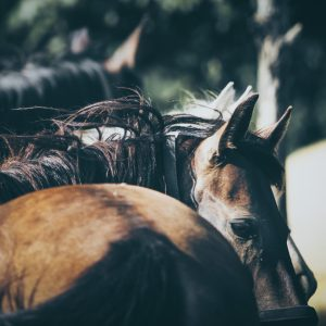 A close-up portrait of brown saddled horse profile in nature
