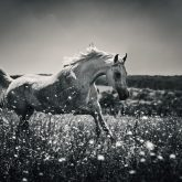 A horse running in a field of flowers