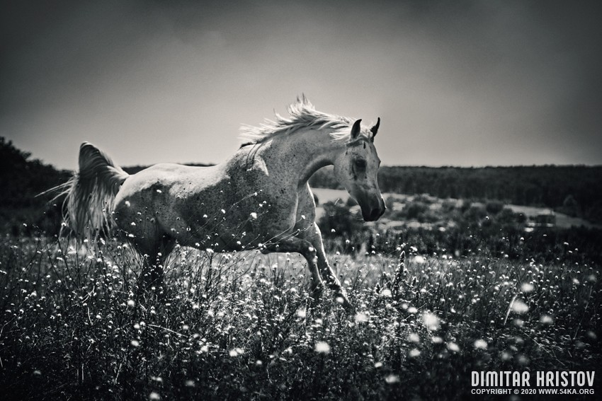A horse running in a field of flowers photography featured equine photography black and white animals  Photo