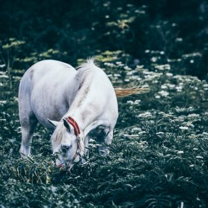 A white horse grazes on a meadow