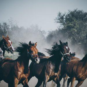 Beautiful horses running