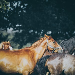 Calm beauty horses