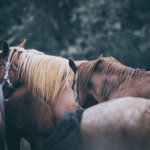 Calm horses in the evening