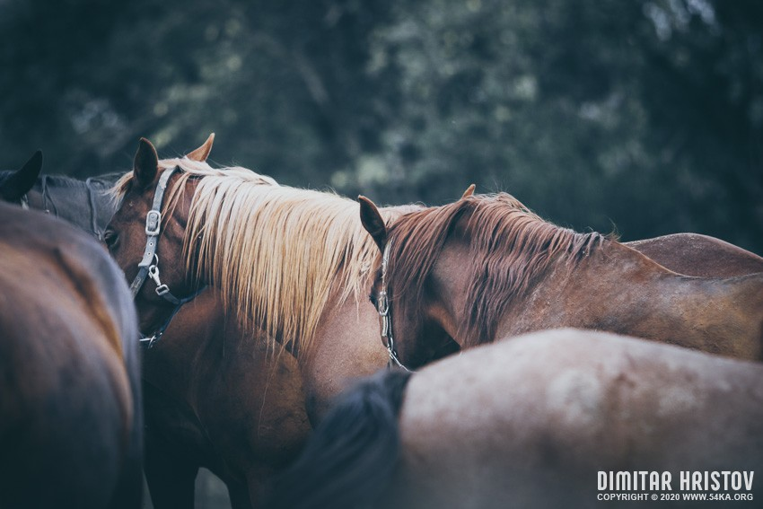 Calm horses in the evening photography top rated featured equine photography animals  Photo