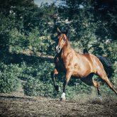 Chestnut horse in action