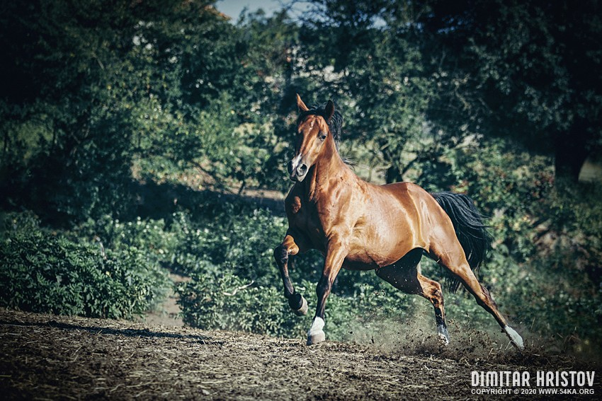 Chestnut horse in action photography top rated featured equine photography animals  Photo