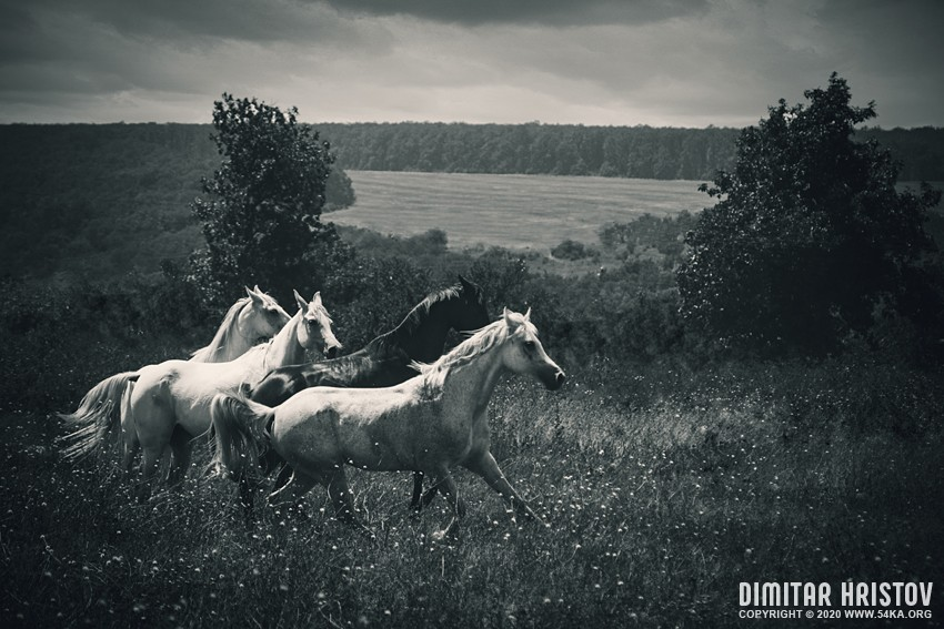 Four horses run gallop in field against sunset sky photography featured equine photography black and white animals  Photo