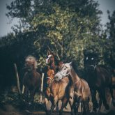 Galloping horses in a meadow