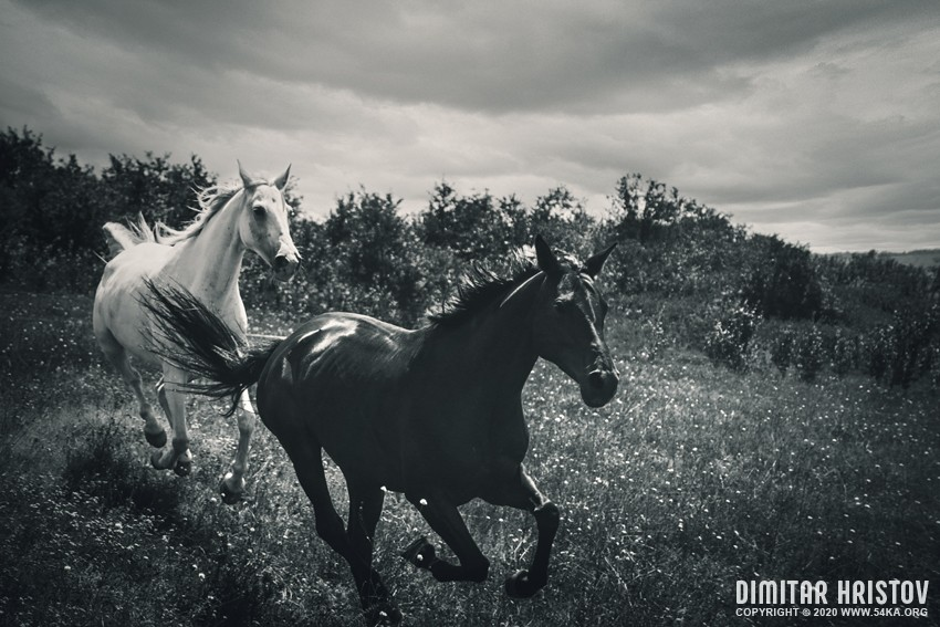 Herd of beautiful horses gallop on pasture photography equine photography black and white animals  Photo