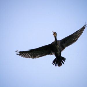 High Flying Bird – Cormorant