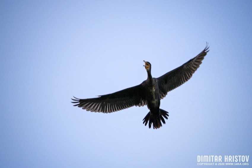 High Flying Bird   Cormorant photography other galleries animals  Photo