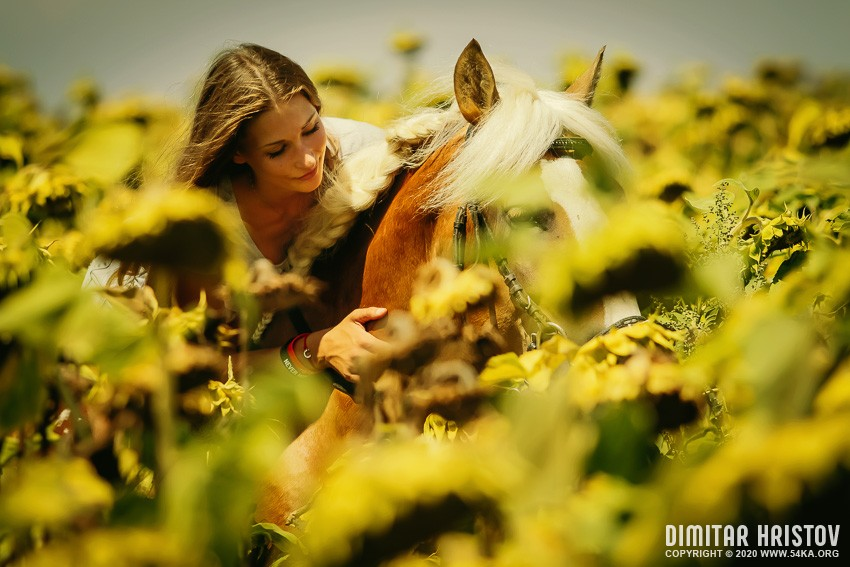 Portrait of a woman with a horse in a field of sunflowers photography portraits featured equine photography animals  Photo