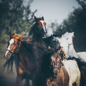 Tabun horses in a gallop