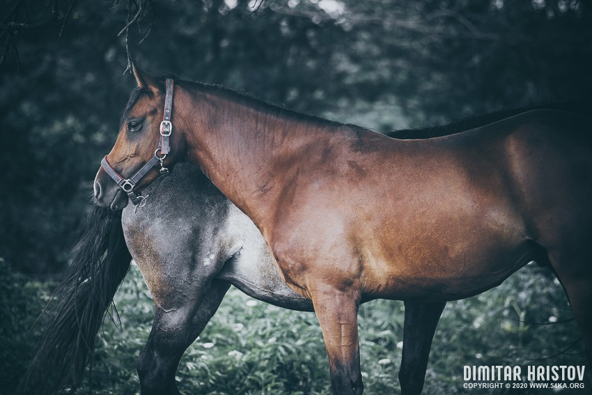 Two beautiful bay horse couple portrait photography top rated featured equine photography animals  Photo