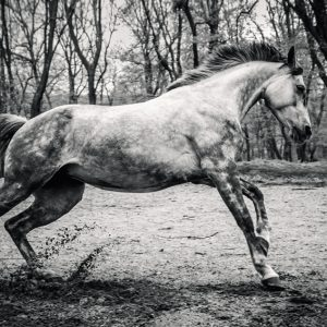 Young Purebred Arabian horse galloping through the grass in a meadow with a forest in the background