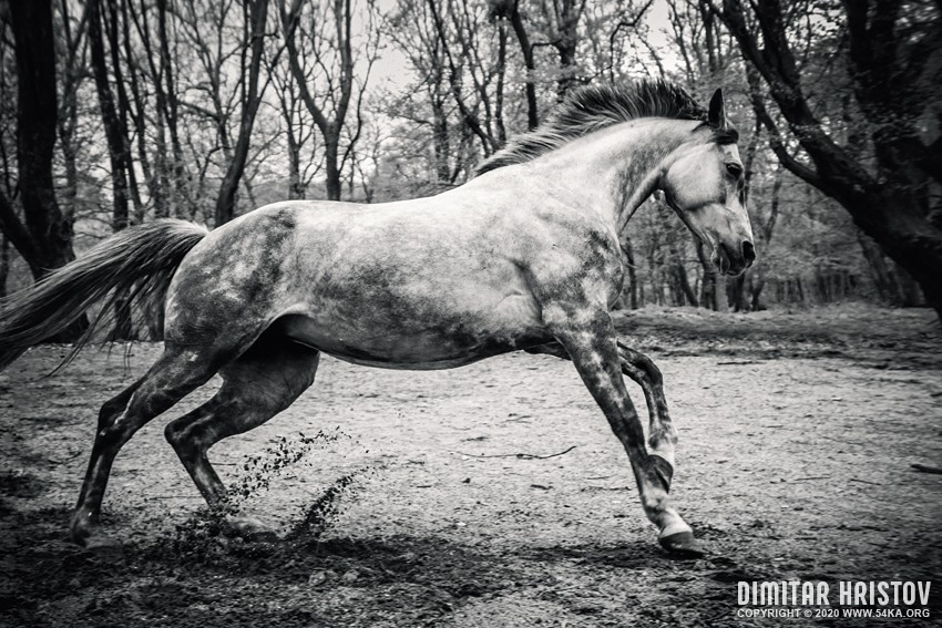 Young Purebred Arabian horse galloping through the grass in a meadow with a forest in the background photography featured equine photography daily dose black and white animals  Photo