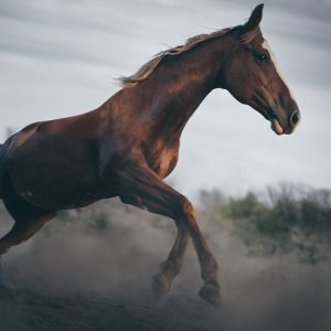 Horse galloping – close up action photography