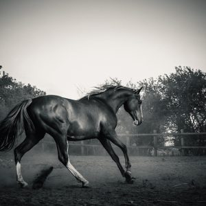 Horse in paddock – Black and White