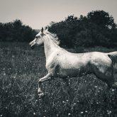 Horse run gallop in meadow