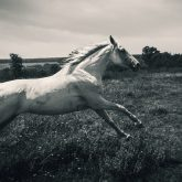 Horse running gallop in spring meadow
