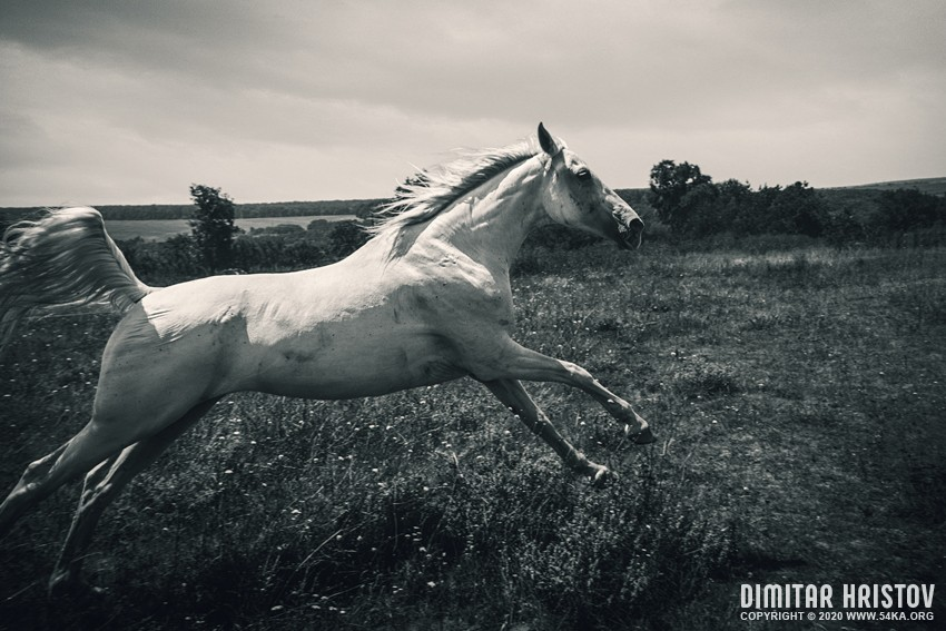 Horse running gallop in spring meadow photography top rated featured equine photography black and white animals  Photo
