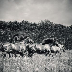 Horses grazing on summer meadow – Black and White