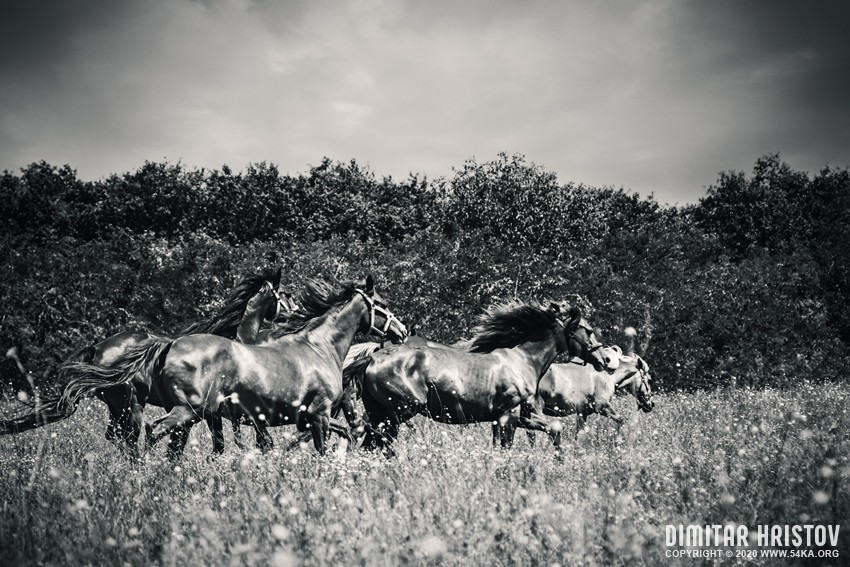 Horses grazing on summer meadow   Black and White photography equine photography black and white animals  Photo