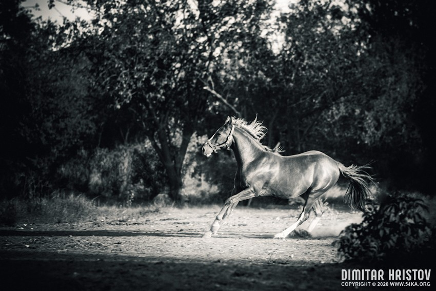 Mare galloping in the forest photography featured equine photography black and white animals  Photo