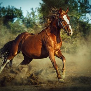 Red horse galloping in dust