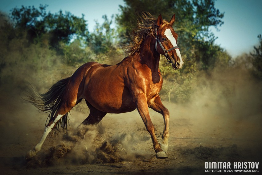 Red horse galloping in dust photography featured equine photography animals  Photo