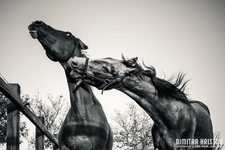 Two horses are talking photography equine photography black and white animals  Photo