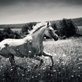 White Horse – Fast galloping