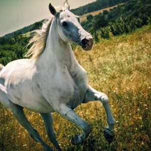 A white horse gallops across a summer meadow