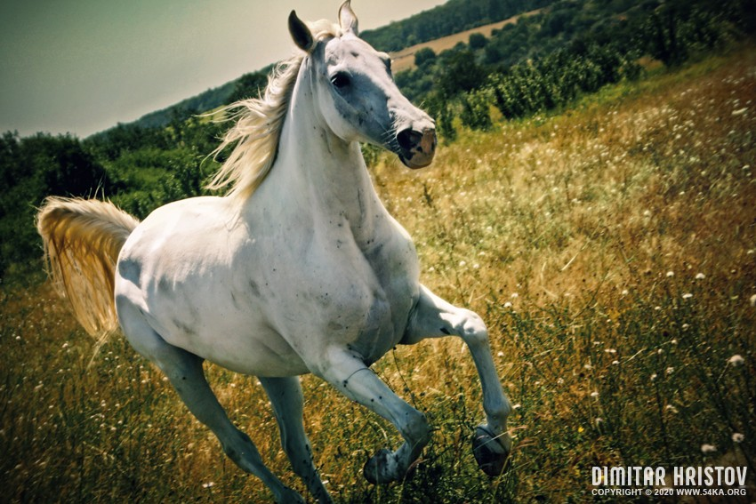 A white horse gallops across a summer meadow photography featured equine photography animals  Photo