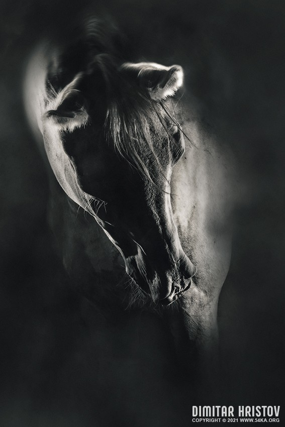 Art black and white horse portrait photography photomanipulation featured equine photography black and white animals  Photo